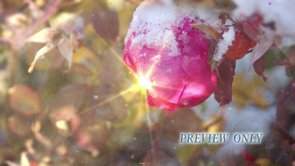 Rose, Snow And Flare Winter Worship