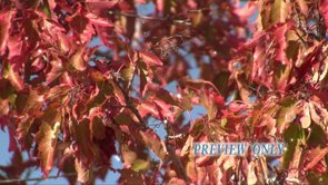 Red Leaves: Fall Moving Background