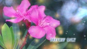 Pink Spring Flowers Background Loop