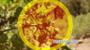 Oak Tree Branck Motion Background